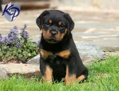 Keystone Puppies has a puppy finder feature setting you up to find and buy a dog perfect for your home. Baby Puppies For Sale, Rottweiler Puppies For Sale, Rottweiler Love, Dogs And Puppies, Chihuahua Dogs, Pet Dogs, Dog Cat, Pets, Doggies