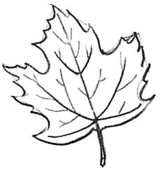 Learn how to draw maple leaves with easy step by step drawing lessons for kids. Nature Drawing, Plant Drawing, Painting & Drawing, Maple Leaf Drawing, Pumpkin Drawing, Flower Step By Step, Step By Step Drawing, Drawing Lessons For Kids, Art Lessons
