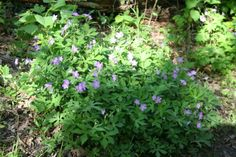 Wild Geranium (Geranium maculatum) 1'-2', blooms in woodlands, April -July Photo taken 5/22/14 at Coral Woods Conservation Area. Come out this weekend and enjoy a colorful woodland walk! www.MCCDistrict.org