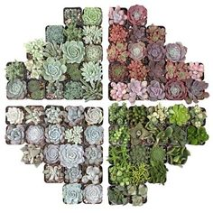 Large variety of succulent plants available: Sempervivum, Sedum, Soft & Hardy Succulents, Echeveria, and affordable Wholesale Succulent Plug Trays. Succulent Potting Mix, Succulent Care, Succulent Pots, Planting Succulents, Indoor Succulents, Buy Succulents, Succulent Party Favors, Wholesale Succulents, Bright Rooms