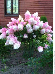 Michigan Landscaping, Landscaping Shrubs, Hydrangea Paniculata, Strawberry Hydrangea, Syringa Vulgaris, Hydrangea Care, Hydrangeas, Deer Resistant Plants, Side Garden