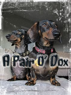 A Pair O' Dox I Love My Dachshunds Best Little Wiener Dogs Evah! Doxie Duo On Squirrel Watch!