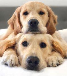 Golden retriever cute funny animals, cute baby animals, animals and pets, g Cute Dogs And Puppies, I Love Dogs, Pet Dogs, Doggies, Pet Puppy, Cute Funny Animals, Cute Baby Animals, Funny Dogs, Cute Pets