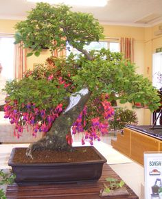 Unidentified bonsai with hanging basket of fuchsia.