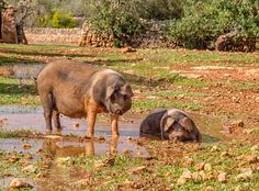 Pigs by shaungdavey. @go4fotos