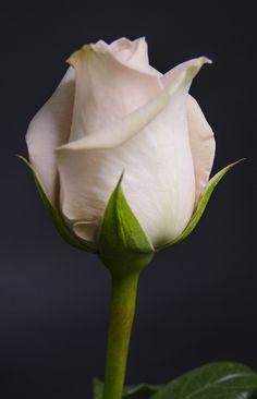 TIFFANY -  10   Eden Roses Ecuador