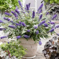 Buddleias are extremely easy to grow and any novice gardener will have success with this genus.