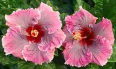 Exotic Hibiscus 'Love Sonnet'