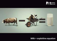 Koeien geven alleen melk nadat ze bevallen zijn van een kalfje. In de zuivelindustrie worden de meeste kalfjes binnen 48 uur bij de moeder weggehaald zodat de melk, bedoeld voor het kalf, verkocht kan worden voor menselijke consumptie.