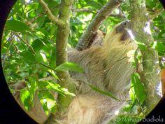 Perezoso en el Parque de Manuel Antonio, Costa Rica