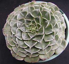 Succulent - Graptopetalum bellum  A low growing species with unusual deep green almost triangular leaves edged in white forming a dense rosette to 10cm across. Relatively large hot pink flowers in summer. Part sun/light shade