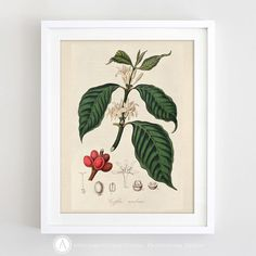 Printable Coffee Plant Print Antique Coffee Print by AmeliyART https://www.etsy.com/listing/490099347/printable-coffee-plant-print-antique