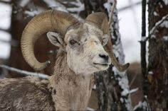 A Big Horn Ram walks through the snow last May near Lamar Valley in Yellowstone National Park, Wyoming.