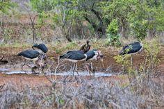 South Africa - Kruger Park (161) Marabou Storks and a White Backed Vulture