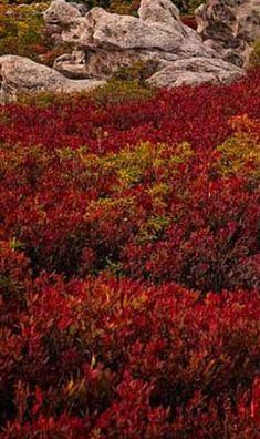 Fall foliage of wild low bush blueberries