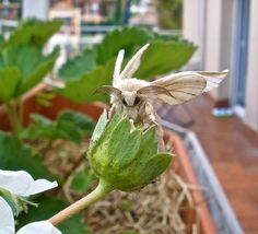 Puppet the Silkworm Moth by MilkyFactory, via Flickr, I had no idea...