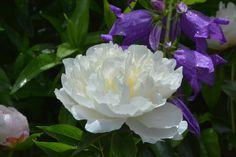 Shirley Temple – pioni | Vesan viherpiperryskuvat – puutarha kukkii