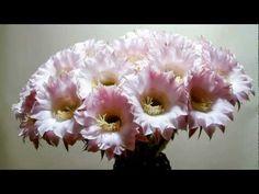 Cactus opening flowers time lapse video (Echinopsis Eyriesii) - YouTube