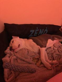 My pitbull ❤️ Pitbull Bull Terrier, Crowley, Amazing Adventures, Pit Bulls, Doberman, Little Babies, Bullying, Best Dogs, Best Friends