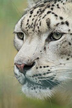 Snow Leopard portrait by j.a.kok on Flickr.