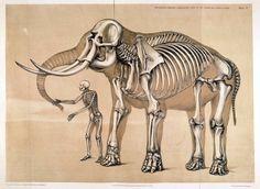 elefantskelett