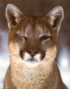 Funny and cute animal photography.  Cougar, Puma, Mountain Lion, Winking cat, big cat.