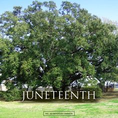 "This image depicts the ""Freedom Tree"" in Fort Bend County where slaves from the Palmer Plantation gathered together and learned of their freedom in 1865. The historic live oak has a diameter of more than 76 inches and is recognized on the National Register of Historic Trees."