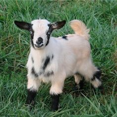 LOL A miniature fainting goat. Shannon! You so need one & I will visit. Hee hee.