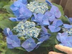 These beautiful, shade-loving shrubs also thrive in pots. Get planting and growing tips, plus find the best hydrangea varieties for pots with help from HGTV. Hydrangea Varieties, Hydrangea Shrub, Hydrangea Care, Hydrangea Flower, Hydrangeas, Flowers, Hydrangea Diseases, Vanilla Strawberry Hydrangea, Pruning Shrubs