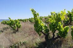 Swartland Wine Region, South Africa. Spice Route old vine vineyard.