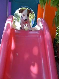 My dog is Jack russel. His name is Rod tung.. He is so cute and smart