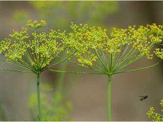 El Eneldo, una mítica planta medicinal y aromática