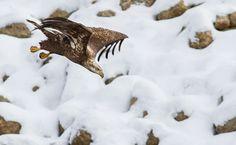 Juvenile Bald Eagle Going into a Dive