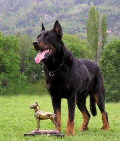 Esta hermosa raza de origen francés se caracteriza por sus facciones comparables a las de un lobo. El Beauceron es un animal inteligente que necesita de una educación firme desde cachorro, pero que se mostrará tranquilo, cariñoso y seguro de sí mismo.