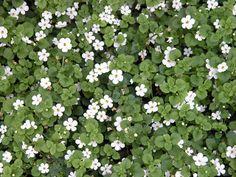 Bacopa - Sutera Cordata Coastal Gardens, White Gardens, The Great Outdoors, Fig, Seeds, Flowers, Plants, Design