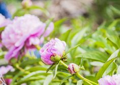 How to make peonies...