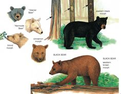 black bear color phases