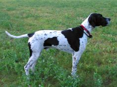 english pointer dog photo | Dogs: english pointer, baby asprin, glucosamine chondrotin