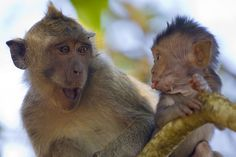 "A human mother would have exactly the same expression as this monkey-mother. Love it! ""Another cheeky monkey blowing a raspberry at his shocked mother"""