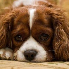 Pack of 4 Dog Puppy Cavalier King Charles Spaniel dogs puppies Greeting Notecards/ Envelopes Set Cavalier King Charles, King Charles Spaniel, Love My Dog, Cute Puppies, Cute Dogs, Dogs And Puppies, Doggies, Puppy Dog Eyes, Dog Cat