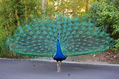 A dancing peacock: The peacock lifts its tail upward and forward. He then dances about slowly shaking his feathers and letting out high pitched screams, to attract a peahen. Their dance in rain is a myth.