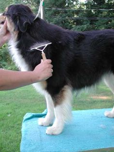 This information was brought to you by the great folks at SEALEVEL Aussies. Their website is slightly broken so I ported the info they provided over here.   Keep your Australian Shepherd looking great with the grooming information on this … Continue reading →