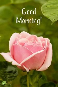 Good morning wish on picture with rose flower.