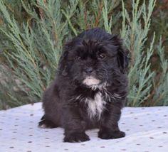 Cute N Fluffy Teddy Bear Puppies Bear Puppy, Teddy Bear Puppies, Fluffy Teddy Bear, Pets For Sale, Dogs, Cute, Animals, Animales, Animaux