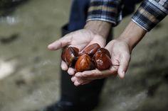 A andirobeira, grande árvore amazônica, possui diversas propriedades medicinais amplamente difundidas.