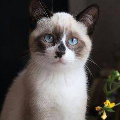 Say #hi to @ziggy__starcatfrom #Italy  #cutecatskittens #cat #love #cats #instacat #instacats #catstagram  #cats_of_instagram #catsofinstagram #meow #animals #animal #pet #pets #cute #cutecat #kittens #lovecats #instaphoto #awesome #nofilter #followforfollow #follow4follow #picoftheday #kitten #petoftheday #adorable #catlover