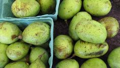 How did Americans forget about the pawpaw? Though the pawpaw grows wild in 26 states, the fruit remains a mystery to many Americans. Andrew Moore, author of Pawpaw, says that wasn't always the case. Paw Paw Fruit, Paw Paw Tree, Real Food Recipes, Healthy Recipes, Food Tips, Cooking Tips, Edible Plants, Fruit Plants, Edible Food
