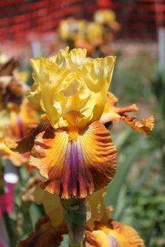 Tall Bearded Iris 'Mayan Mysteries'