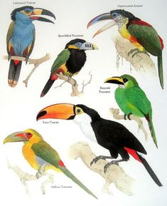 Laminated toucan, Spot billed toucanet, Curl crested aracari, Emerald toucanet, Saffron Toucanet, Toco Toucan.........clockwise from upper left corner.....via My Sunshine Vintage on ETSY