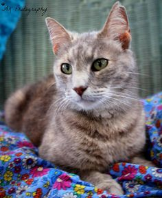 ADOPTED!!! Turtle *   Cat • Tabby - Grey • Adult • Female • Medium  The Haven Animal Care Shelter Lubbock, TX * Meet Turtle! She is a gray tabby, around 6 years old. Not only is Turtle a gorgeous kitty, she also has a great personality. She is one of the first cats to greet you when you open the door to her cat house. Her mission in life is to get as many back...